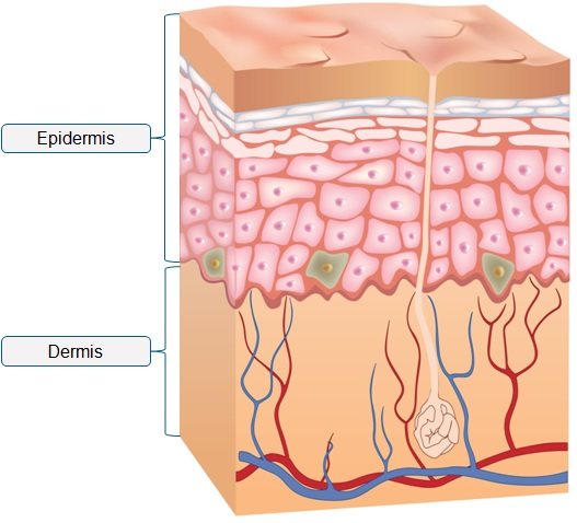the epidermis is the upper part of the skin, which provides protection from  the environment  the dermis is the lower part of the skin